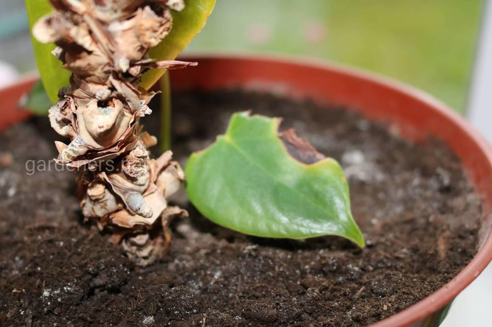 Что делать с пятнами на листья Антуриума