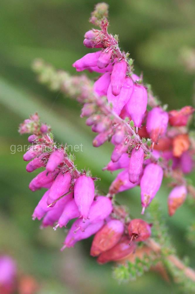 Erica ciliaris
