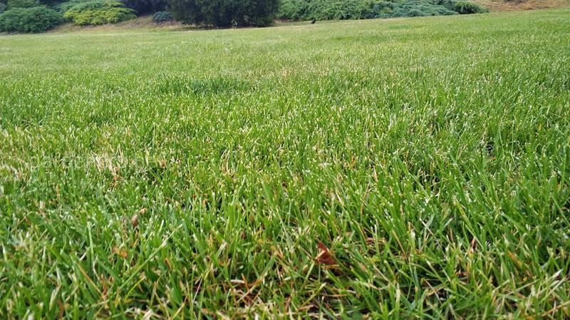 Газонная трава