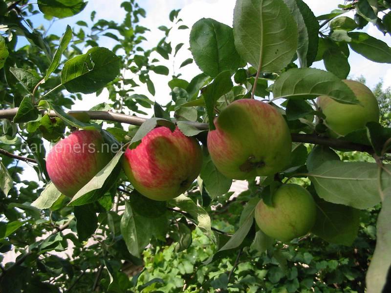 Дикие яблоки укрепляют весь организм