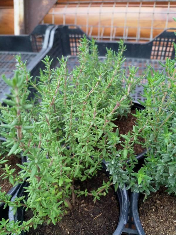 Чому варто вирощувати трави на кухні або балконі?