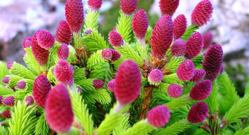 Удивительные хвойники с цветными шишками:  сорта ели и пихты
