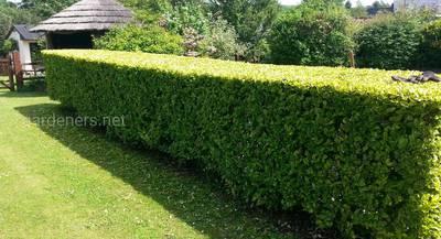 Идеальный зеленый забор