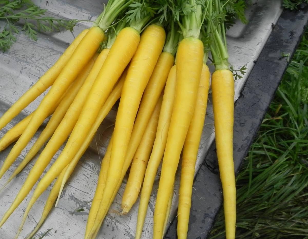 Сорт моркови Yellow Stone