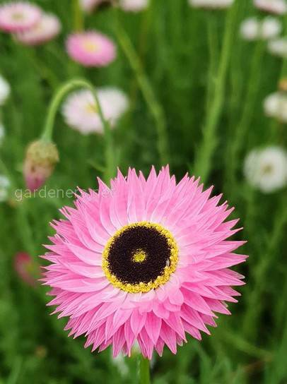 Акроклинум: как вырастить красивый цветок в саду