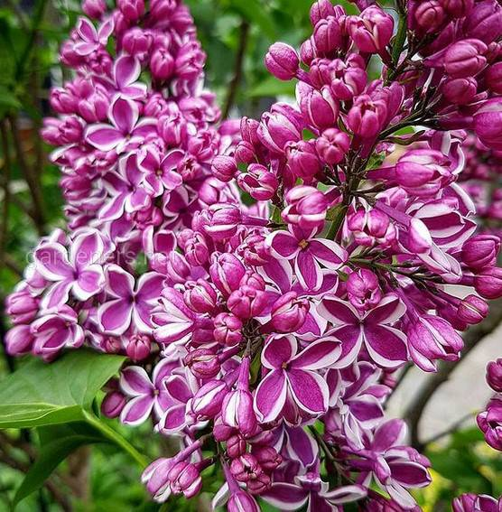 Syringa vulgaris Madame Florent Stepman