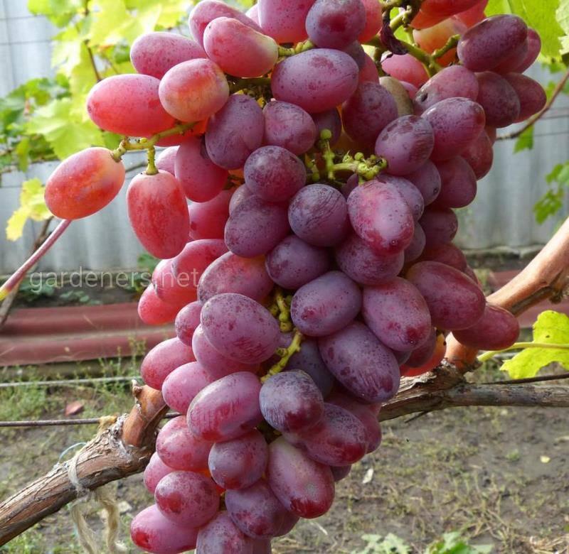 Виноград «Скарлет»