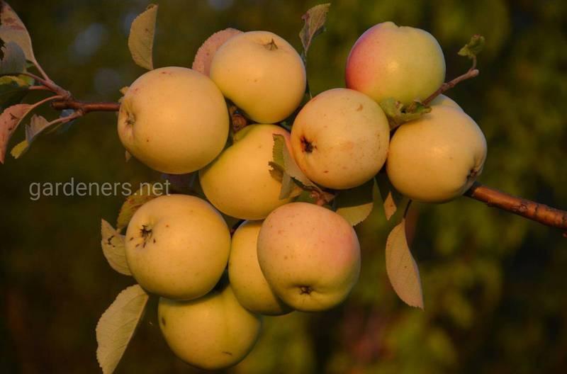 Как предотвратить появление хлороза на плодовых деревьях?