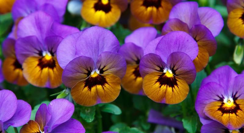 Анютины глазки: сорта крупноцветкового гибрида