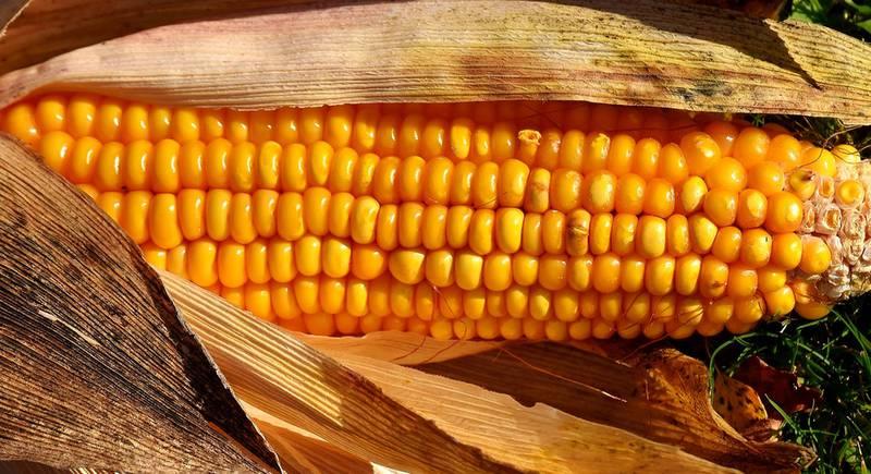 corn-3038846_1920.jpg