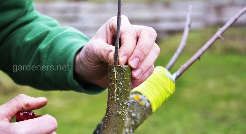 Прививка деревьев плодовых: просто о сложном