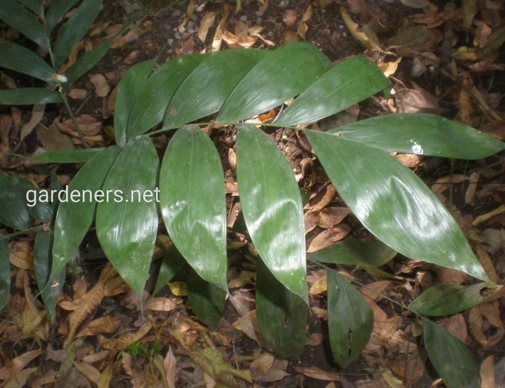 Chamaedorea oblongat