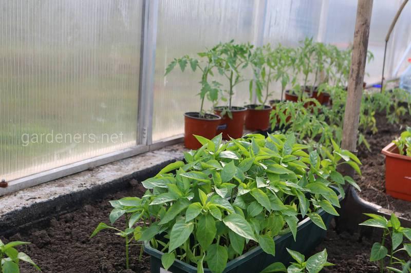 Як захистити розсаду в теплицях?