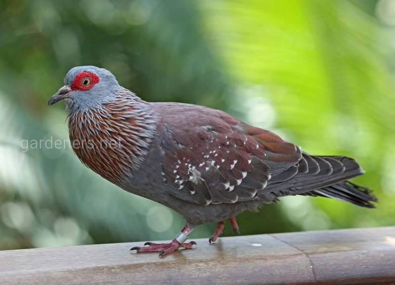 Птица Крапчатый голубь