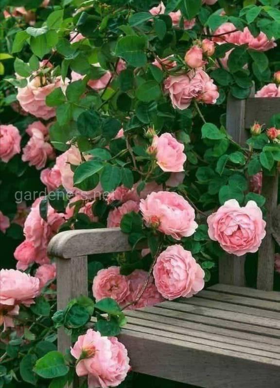Как правильно обрезать и удобрять плетистые розы?