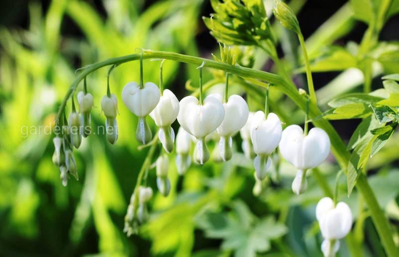 Как выращивать диценту - необычайно нежное растение, как женское сердце?