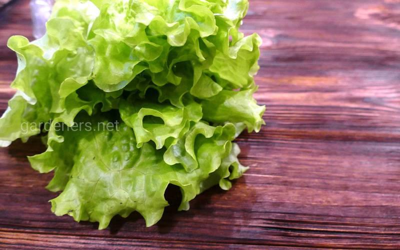 Как правильно собирать полевой салат и в чем его польза?