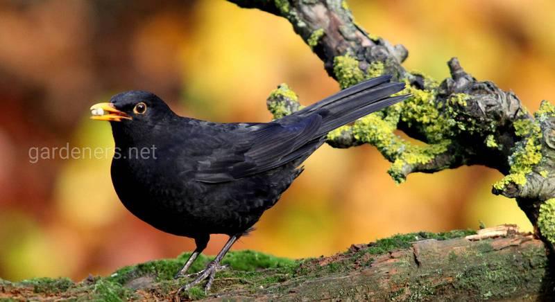 Дрізд. Що за птах і чим може бути корисним?