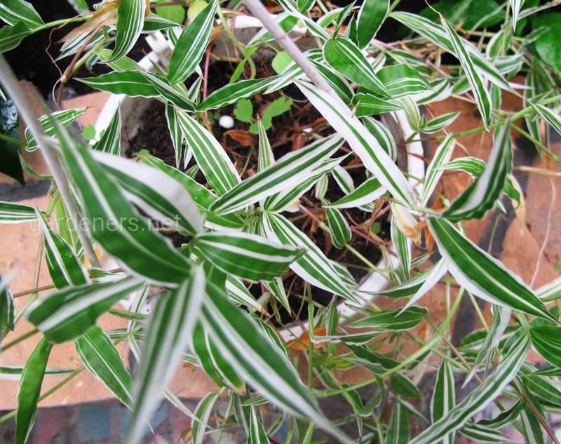 Які умови потрібні для вирощування остянки (оплисменус)?