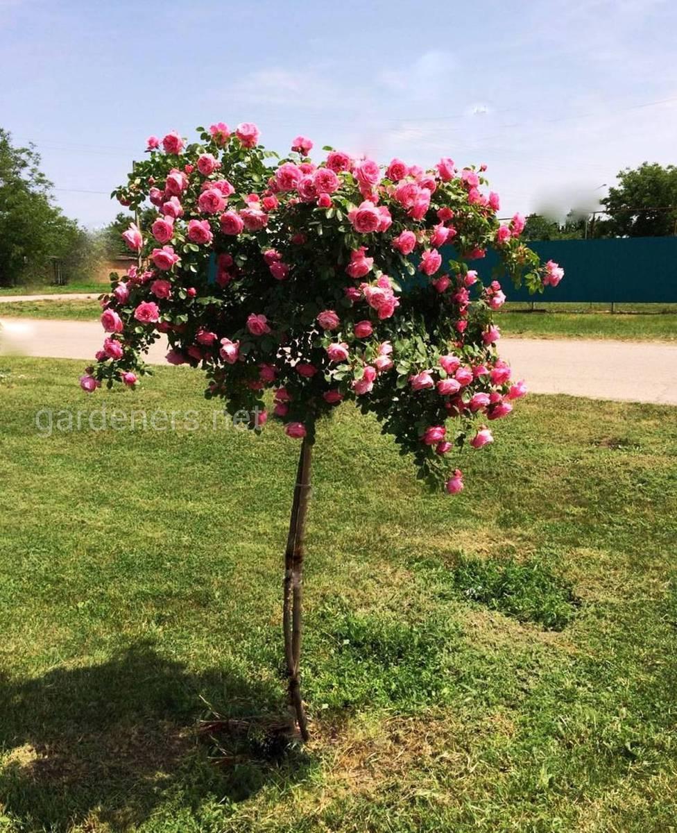 Сорт штамбовой розы Леонардо да Винчи