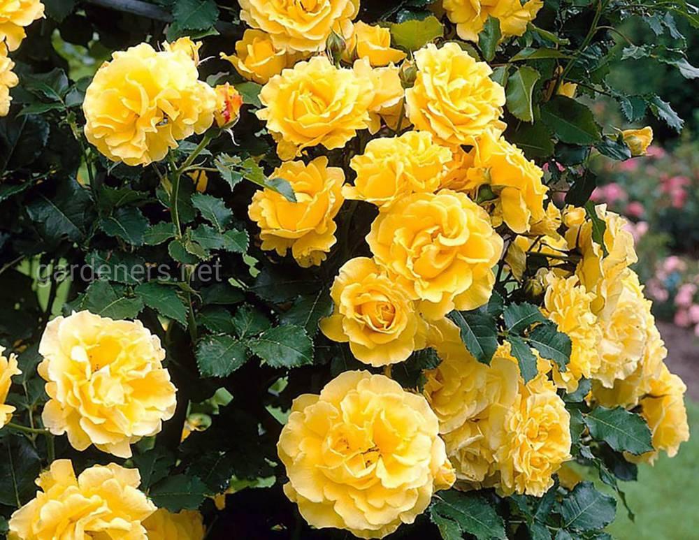 роза Золотой парфюм