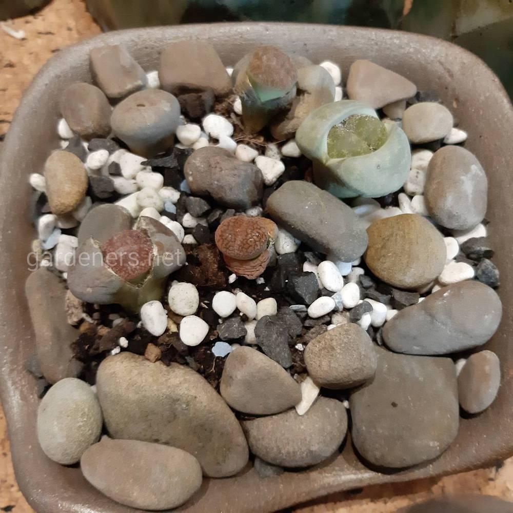 Сукуленти -  оригінальні рослинки