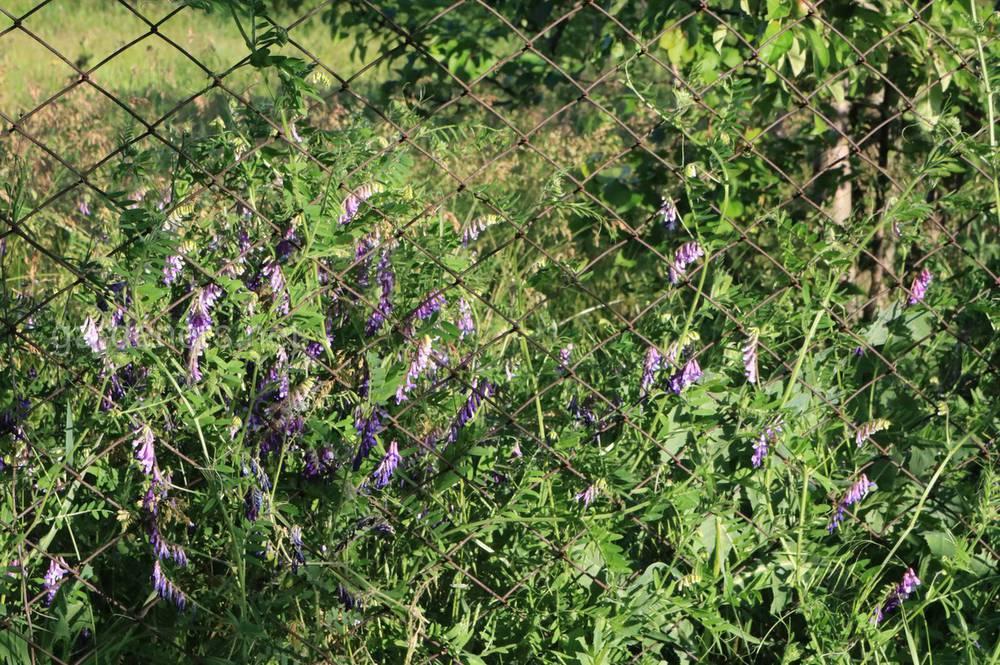Люцерна: выращивание, посев и уход