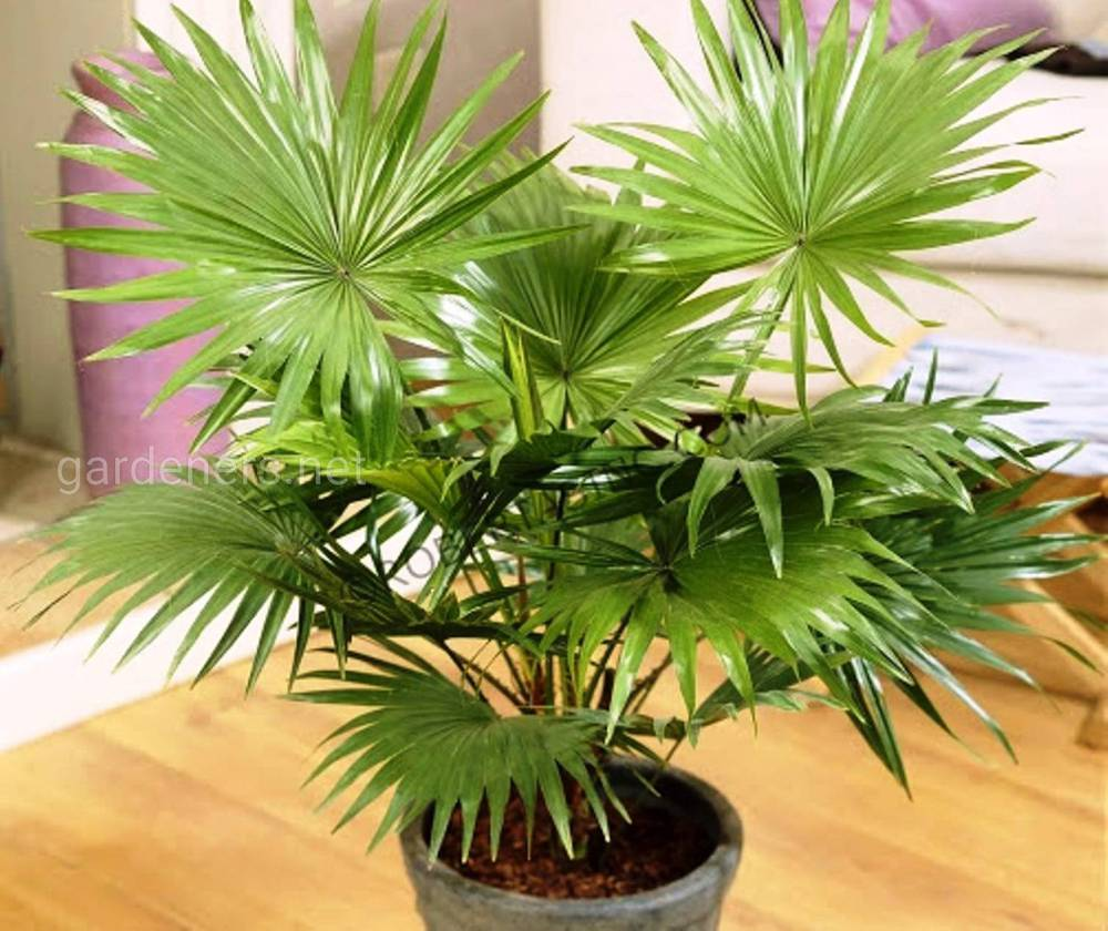 Секреты успешного выращивания пальмы ливистона: