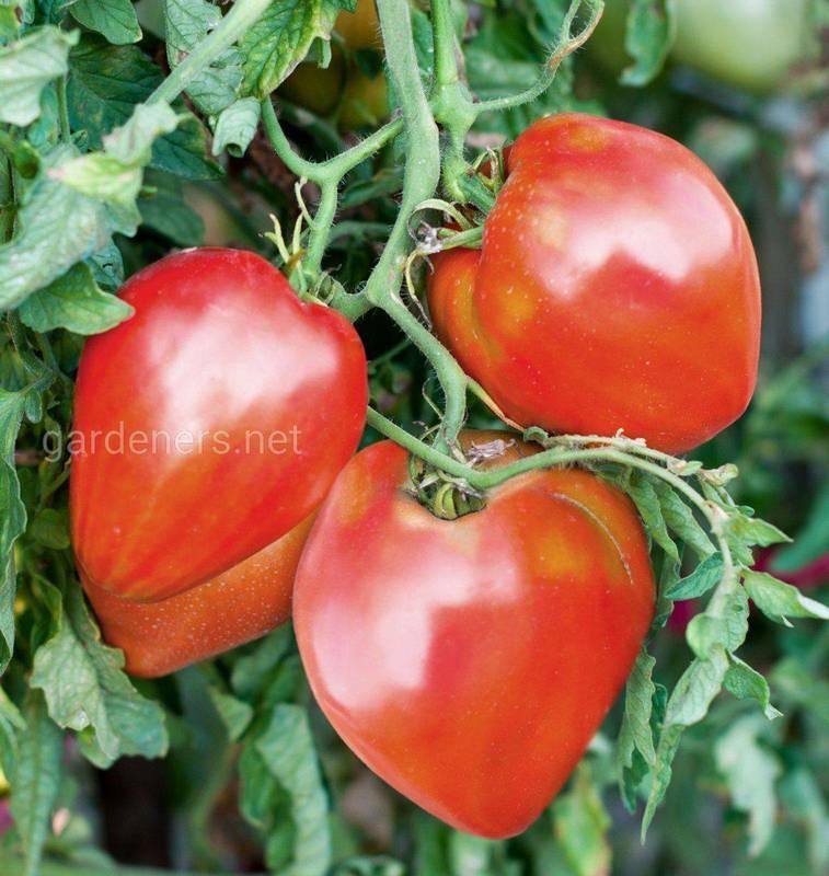 Как правильно ухаживать за томатами при органическом выращивании?