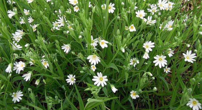 Растения, которые заменят газон