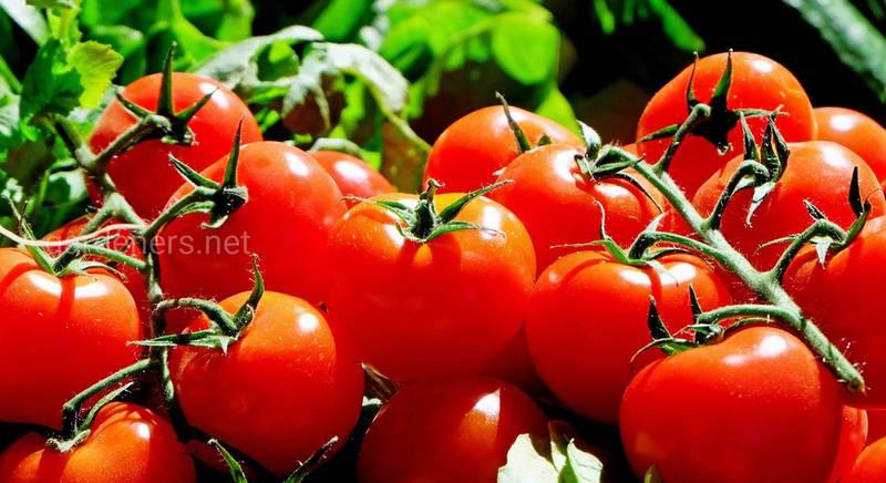 ТОП-7 высокоурожайных ранних сортов томатов для теплиц