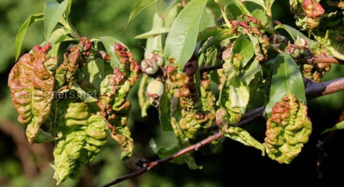 Курчавость персика – это болезнь или аномалия?