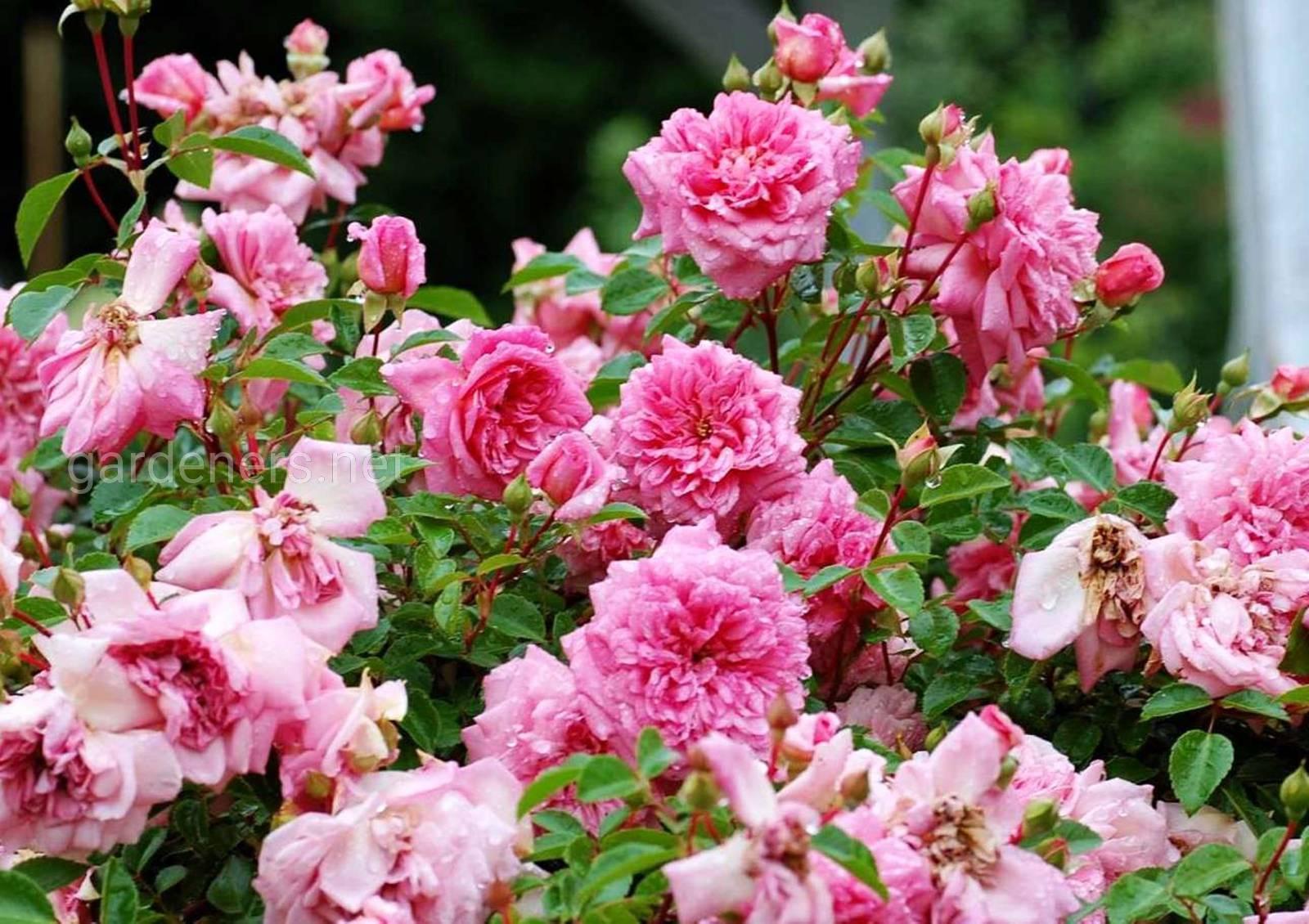 """Сорт штамбовой розы """"Поль Ноэль"""".jpg"""