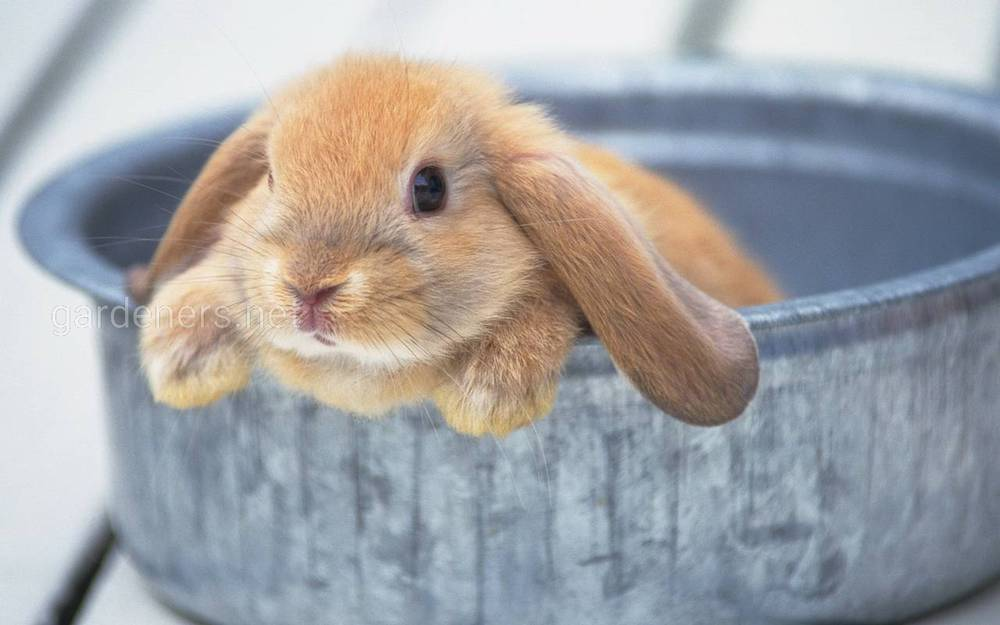Годуємо кролів