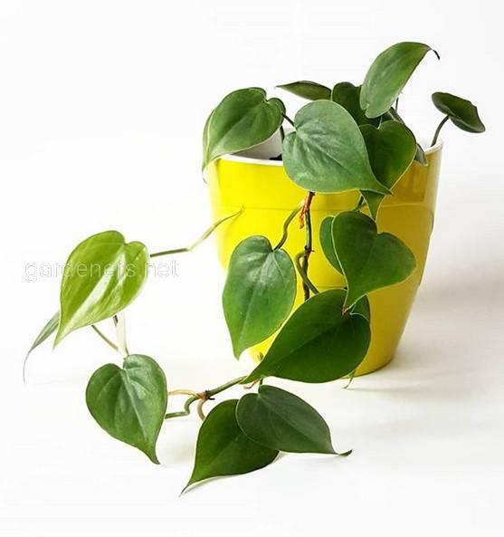 Які кімнатні рослини можуть бути небезпечними для здоровья людини та тварин?
