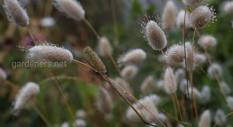 Зайцехвост: посадка и уход за компактной травы с пушистыми соцветиями