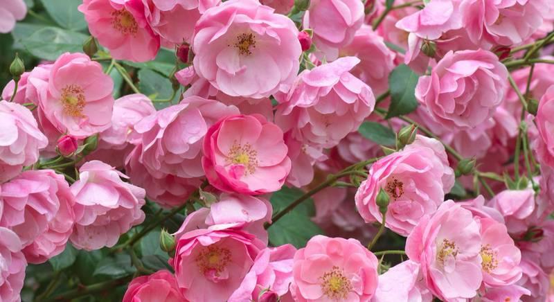 Какая она – плетистая роза? Посадка и посезонный уход