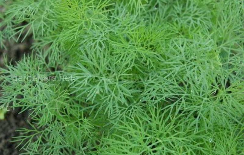 Які рослини допоможуть в боротьбі зі шкідниками? Як кольори та харчова сода впливать на хвороби та комах?