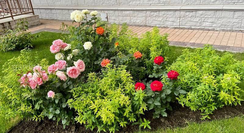 Які особливості чагарникових троянд? Які сорти привертають особливу увагу?