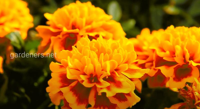 Лучшие сорта и гибриды садовых цветов