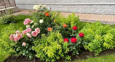 Кустарниковые розы.
