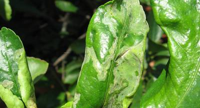 Курчавость листьев2