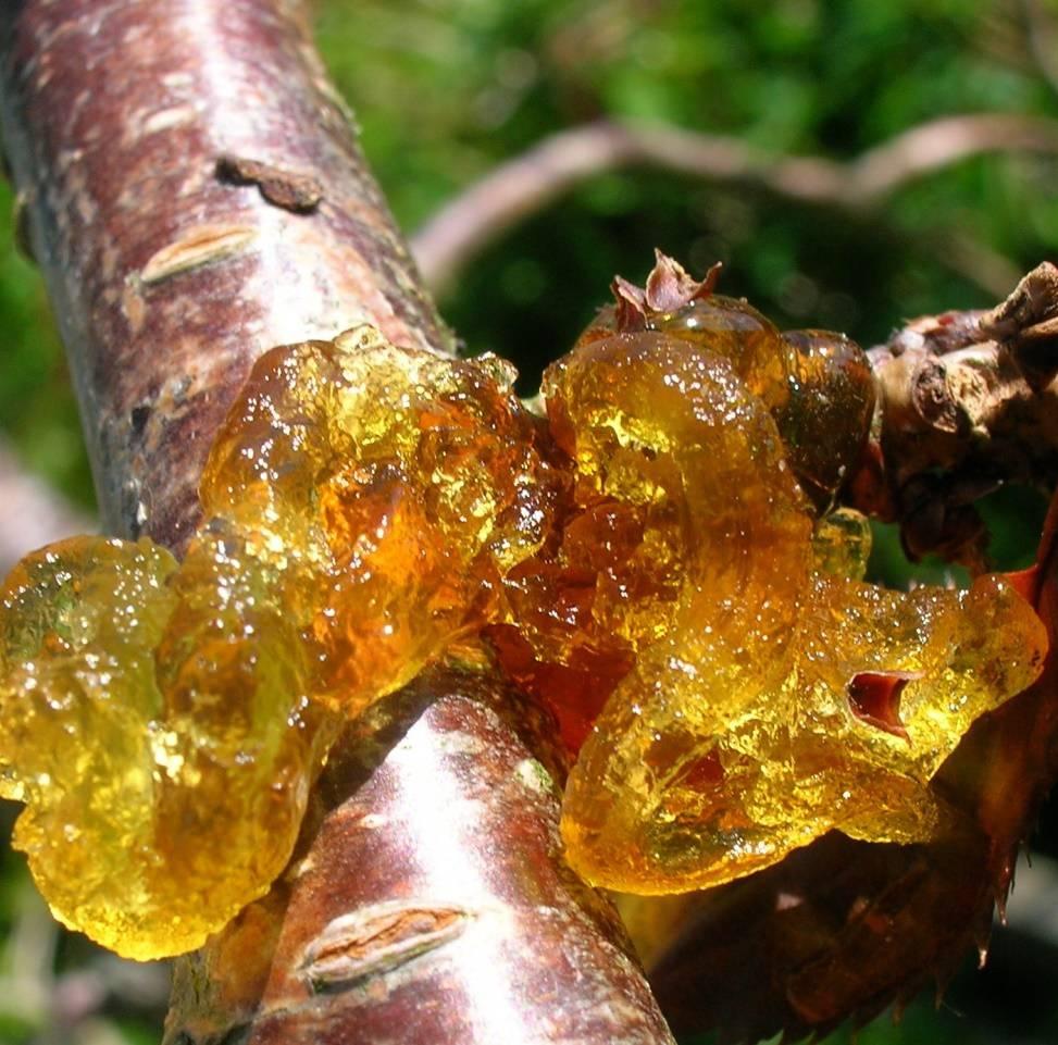 Топ самых известных и опасных болезней вишни