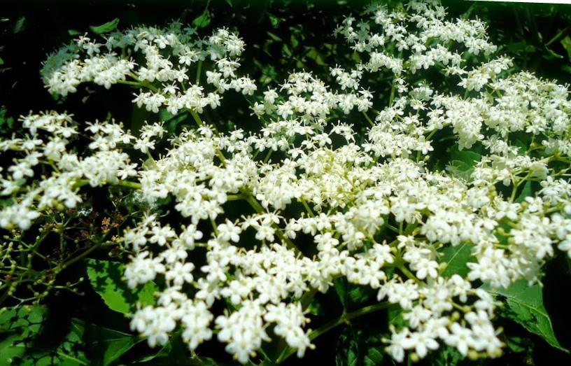 Sambucus flor pr.jpg