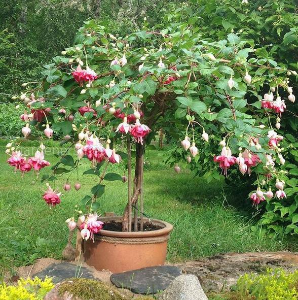 Fuchsia Kit Oxtoby