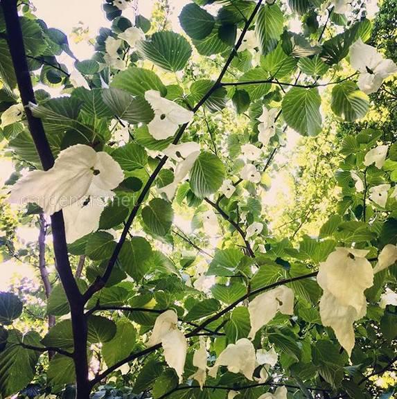 Давидия – реликтовое дерево Китая
