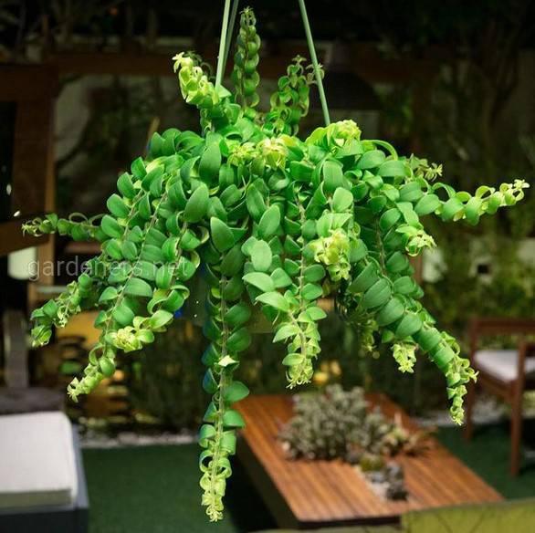 Aeschynanthus  Curly
