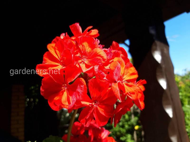 Как успешно выращивать самый культивируемый цветок - герань?