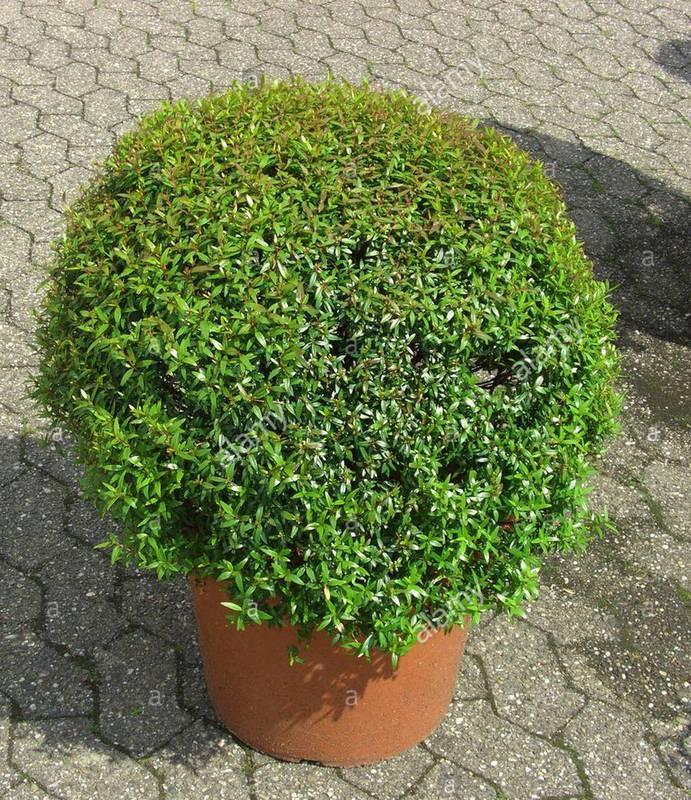 Рослина мирт - характеристики, середовище існування та умови вирощування
