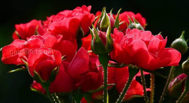 Чем, когда и как подкормить розы осенью